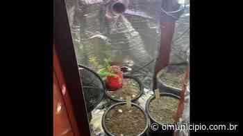 Polícia Militar apreende sete vasos de maconha em residência, em Brusque - O Munícipio