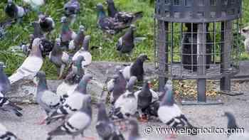 Barcelona reduce a la mitad la población de palomas con anticonceptivos - El Periódico