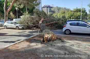 Un pino cae sobre dos coches en el Paseo de Nájera sin dejar heridos - Noticias de Navarra