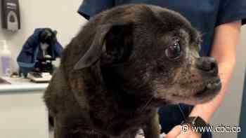 Mildred the dog survives being left in plastic bag on roadside, but she needs surgery