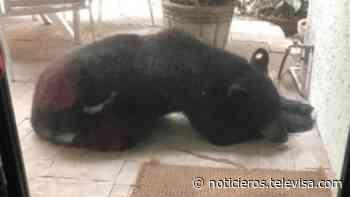 Profepa captura oso negro que se quedó dormido afuera de una casa en Monterrey - Noticieros Televisa