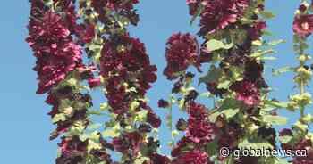 Giant flowers: West Kelowna woman's garden flourishes with tall hollyhocks