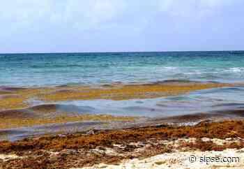Regresa el sargazo a Playa del Carmen, luego de una semana de playas limpias - sipse.com