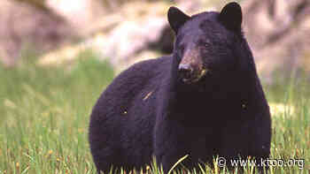 Fish and Game kills 4 bears near Hope as it investigates fatal mauling - KTOO