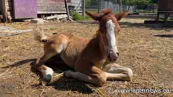 A miracle in the making: birth of Ojibwe pony in Manitoba first in decades - APTN News