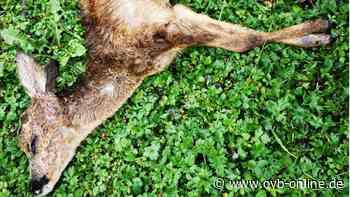 Kolbermoor: Rehkitz stirbt nach Hundeattacke - ovb-online.de