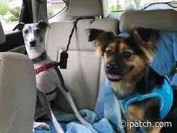 Koda Is Princetons Pet Of The Week - Princeton, NJ Patch