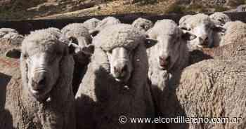 Investigan cómo las ovejas podrían controlar la invasión de pinos - El Cordillerano