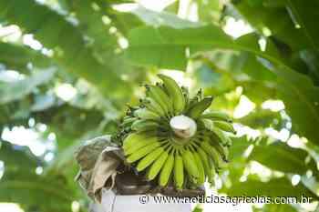 Banana: Colheita de prata está se intensificando - Notícias Agrícolas