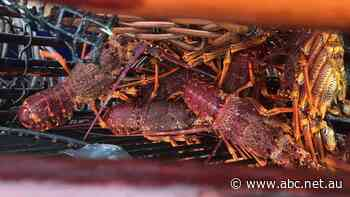 Fears seismic testing is rocking lobster industry's recovery efforts