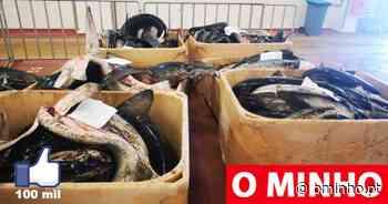 GNR apreende em Viana do Castelo mais de três toneladas de tintureira - O MINHO