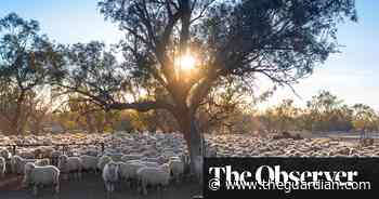 Australia's sheep left without shearers as Covid halts travel from New Zealand - The Guardian