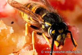 Wespen sind Quälgeister beim Picknick - Gastronomie - Badische Zeitung - Badische Zeitung