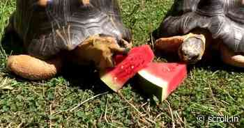 Watch: From elephants to tortoises, animals relish watermelons in the summer heat at this zoo - Scroll.in