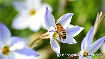 Napa County Master Gardeners: Planting a flower garden for bees - Napa Valley Register