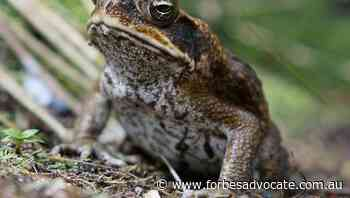 Super withdrawals 'dumb as cane toads':ALP - Forbes Advocate