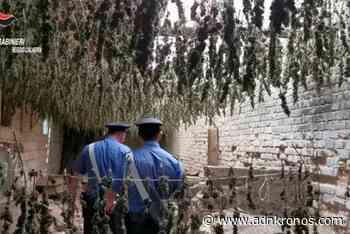 Gioia Tauro, scoperto essiccatoio con 7mila piante di marijuana/Video - Adnkronos