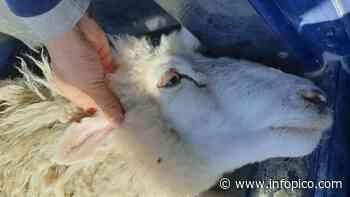 Seguridad Rural UR-IV recuperó 11 ovejas y demoró a una persona - InfoPico.com