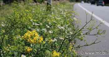 Hübsch, aber giftig: Jakobskreuzkraut breitet sich stark aus | Petershagen - Mindener Tageblatt