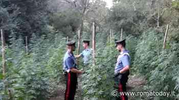 """Blitz a """"Ganjalotti"""": i carabinieri scoprono 167 piante di marijuana coltivate da una donna"""