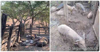 Tras denuncia de campesino de Pivijay, ICA insiste en que no hay peste porcina en Magdalena - Seguimiento.co