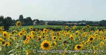 The beautiful sunflower field that's lifting people's spirits