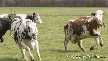 Norden Im Landkreis Aurich: Zur Abkühlung? – 20 Rinder büxen aus und landen im Kanal - Nordwest-Zeitung