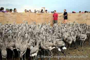 Gard : 300 bébés flamants roses bagués aux salins d'Aigues-Mortes - France 3 Régions