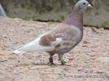 MARMAGNE : À qui le pigeon - Creusot-infos.com