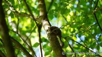 GEO-Tag der Artenvielfalt im LBV-Naturerlebnisgarten Kleinostheim - Main-Echo