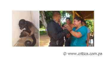 Rescatan cría de Mono aullador en Parita - Crítica
