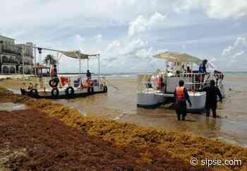Playa del Carmen: Presentan proyecto de transformación del sargazo en diversos productos - sipse.com