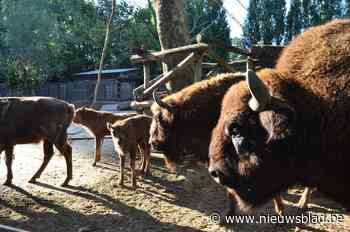 """Babyboom bij Europese bizons in Bellewaerde: """"Heel belangrij... (Ieper) - Het Nieuwsblad"""