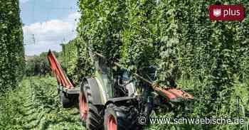 """Gute Hopfenernte in Tettnang ist in Sicht – wegen Corona-Auswirkungen auf Biermarkt aber zur """"falschen Zeit"""" - Schwäbische"""