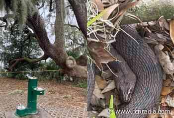 Polémica por muerte a golpes de gigantesca anaconda en Mapiripán (Meta) - RCN Radio