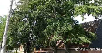 Eichen müssen weichen: Kreis lässt Bäume in Neuenknick fällen - Mindener Tageblatt