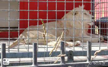 """Cirque à Belley dans l'Ain : une association porte plainte pour sauver un lion blanc """"mutilé"""" - actu.fr"""