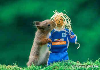 Eekhoorns supporteren voor KRC Genk (Diepenbeek) - Het Belang van Limburg