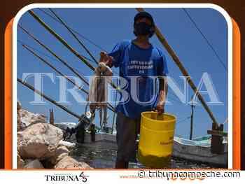 Cayó en 10% pesca de pulpo - Tribuna Campeche