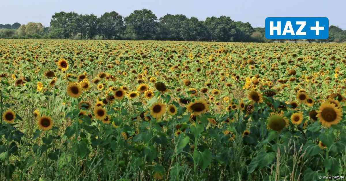 Isernhagen: Sonnenblumen blüht zwischen K.B. und Altwarmbüchen - Hannoversche Allgemeine