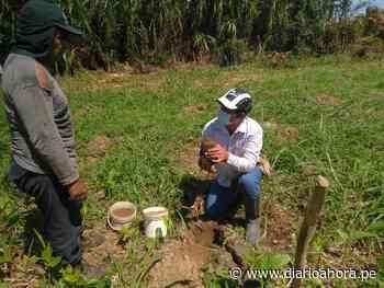 Devida y Municipalidad de Uchiza inician plantación de plátano bellaco en 765 hectáreas - DIARIO AHORA