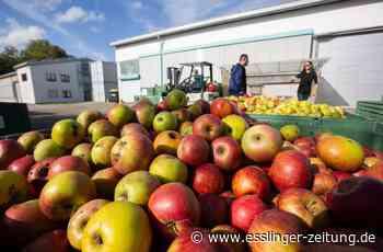 Streuobstsaison im Kreis Esslingen beginnt: Viele Äpfel sind schon fällig - Kreis - esslinger-zeitung.de