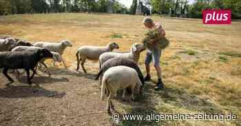 Hitze verwandelt Mainzer Schafweide in dürre Steppe