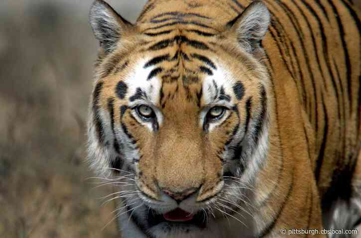 Feds: Ohio Man Pleads Guilty To Purchasing Tiger Skin Rug