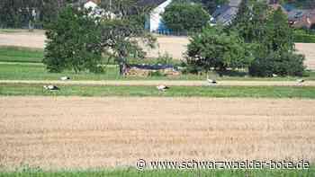 Straubenhardt: Mehr als 20 Störche auf Wiesen und Feldern - Straubenhardt - Schwarzwälder Bote