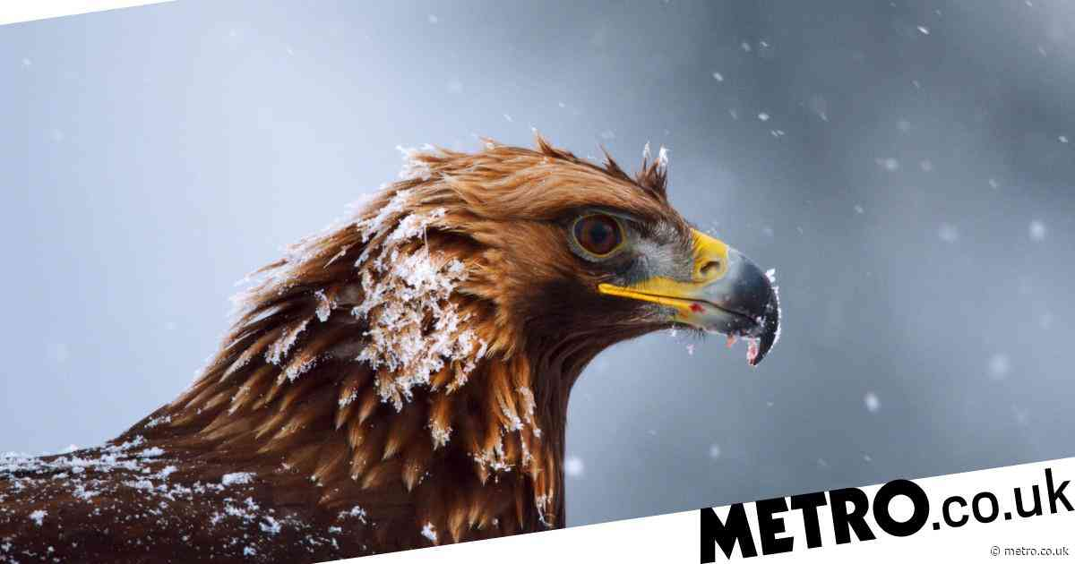 Homemade nest lures golden eagles back to Highland estate for first time in 40 years