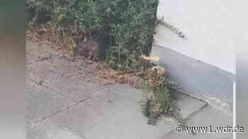 Wuppertal: Räumung nach Rattenplage