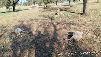 El granizo mata a varias ovejas en Córdoba - Club de Caza