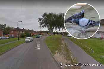 Pigeon shot and killed with sling-shot by youths in Southampton