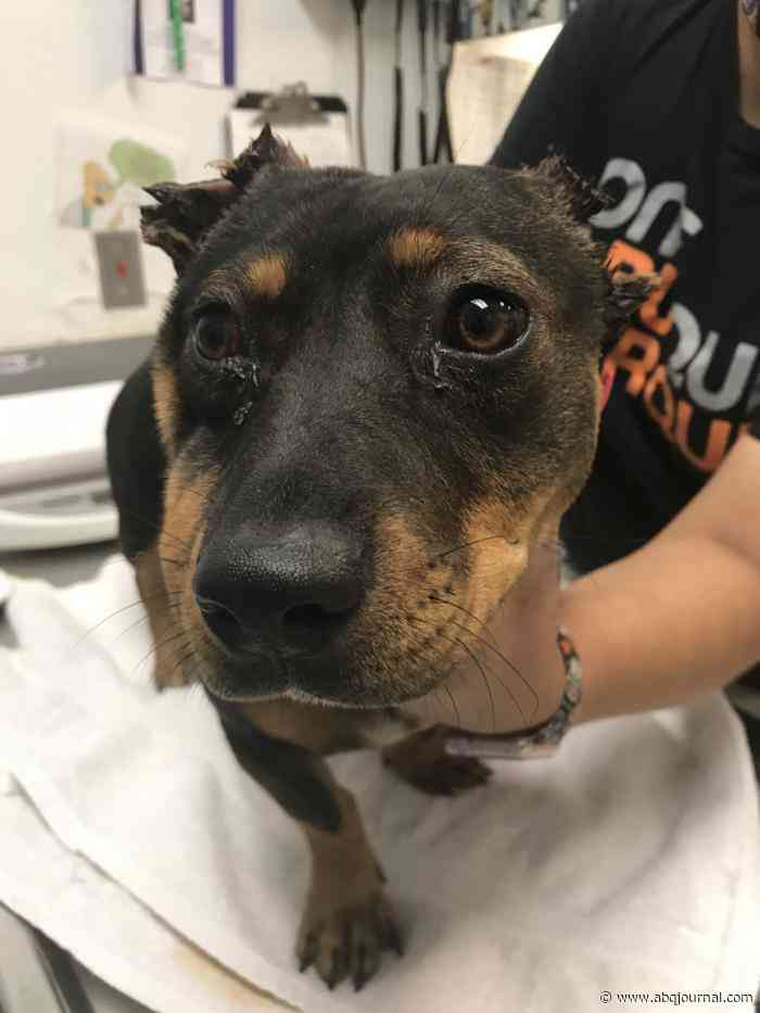 Animal Welfare looking for owners of mutilated dog